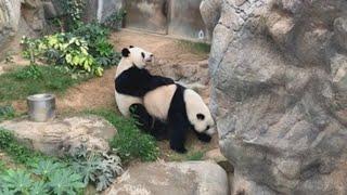 El encierro por el virus propicia el apareamiento de dos pandas en Hong Kong
