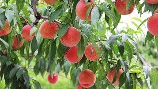 Phát sốt với giống đào tiên nhiệt đới trồng được ở xứ nóng, trái to, sai trĩu cành