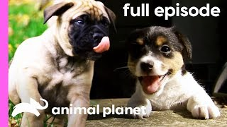 Bullmastiff, Jack Russell, and Portuguese Water Dog Puppies | Too Cute! (Full Episode)