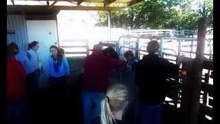 MSC Agribusiness Students - Marking calves at Gundamain