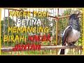Kacer Poci Betina Memancing Birahi Kacer Jantan Agar Cepat Gacor Dan Emosi Birahi  Mp3 - Mp4 Download