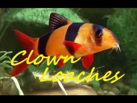 CLOWN LOACHES, BEAUTIFUL AQUARIUM FISH