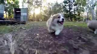 Corgi Puppies Compilation: The Cutest Corgi Puppies Running, Playing, And Just Being Cute!