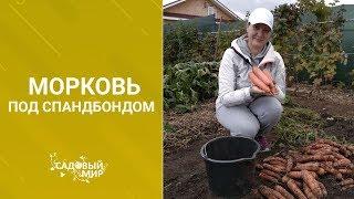 Морковь. Как  получить самый большой урожай.