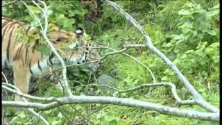 Русский тигр. Документальный фильм ТК НТВ