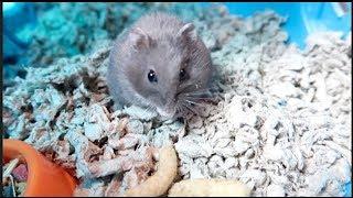 Hamster LOVES Curlz!