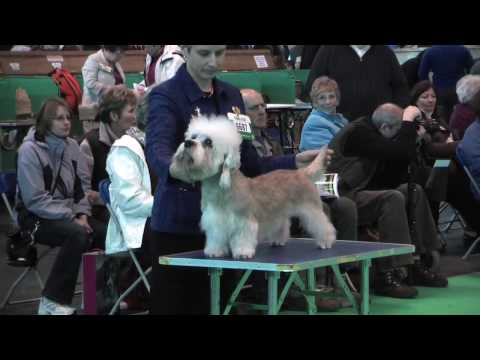Dandie Dinmont Terriers at Crufts 2010 - Open Dog