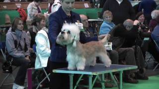 Dandie Dinmont Terriers at Crufts 2010  Open Dog