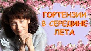 Гортензии в середине лета / Сад Людмилы Кудасовой