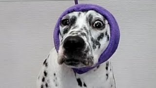 This Dalmatian dogs temperament will SHOCK you