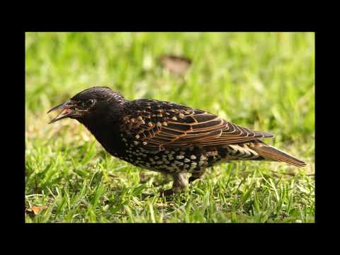 Common Starling call