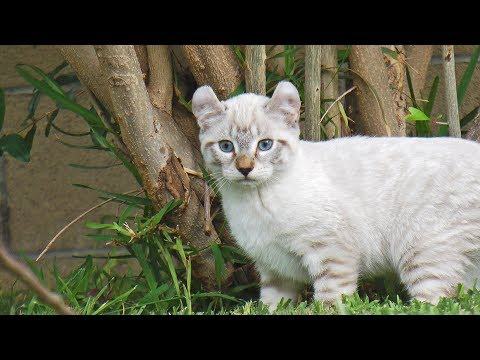 Lynx Hybrid - Exotic &  Rare Big Cat Goliath Kittens 7 weeks old