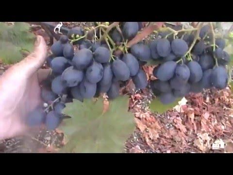 Сорт винограда Рустам - сезон 2015