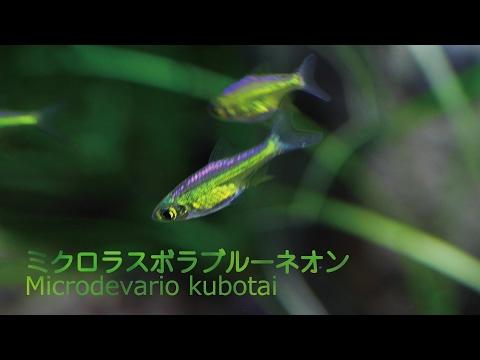 #38.ミクロラスボラブルーネオン 透明感ある輝きが美しい熱帯魚 Microdevario kubotai