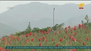 Тюльпаны казахской степи