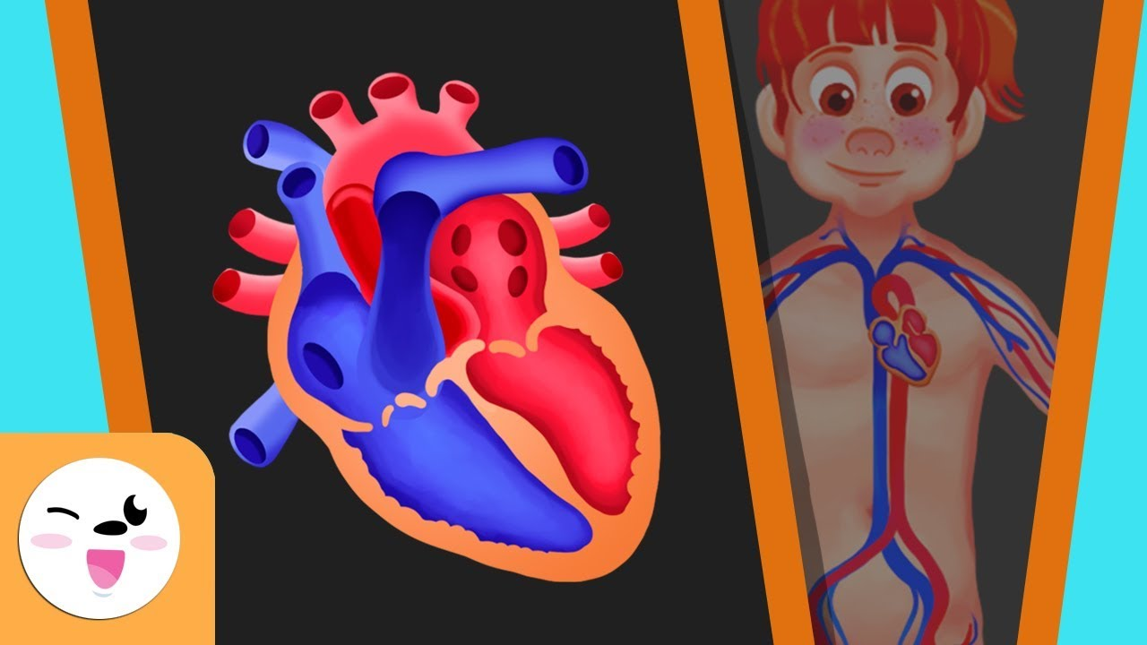 The Circulatory System In The Human Body For Kids Smile And Learn