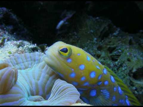 Kraylen's Blue Spot Jaw Fish