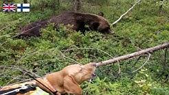 Dropping 260kg bear in stand still barking/ /260kg karhunkaato seisontahaukkuun/