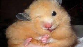 Веселые хомячки/Игра/Животные/Funy hamsters/Play/Animals/Kids