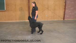 Kosmo von Prufenpuden Giant Schnauzer 2 Yrs Obedience/Protection Dog For Sale