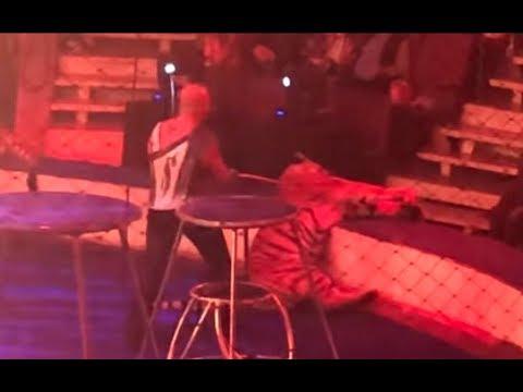 Las duras imágenes de una tigresa que convulsiona en plena actuación de circo