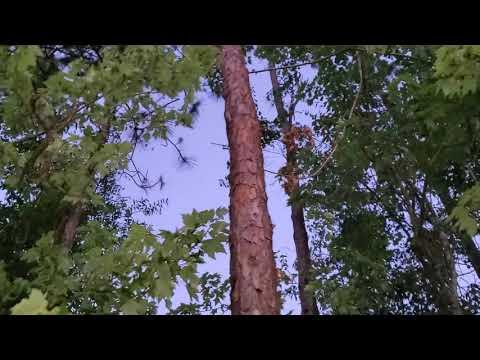 Nancy's Pines Take 2