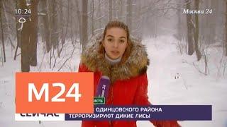 Смотреть видео Жителей Одинцовского района терроризируют дикие лисы - Москва 24 онлайн