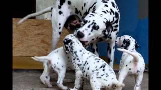 "Dalmatian Dog, As They Develop And Grow - ""e"" Litter ""pjegava Sanjaska"" Kennel"