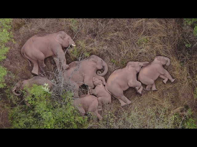 Live: Wandering far from home, where is the herd of wild Asian elephants now?