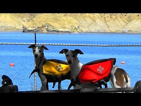 ITALIAN GREYHOUNDS * 1st Public CAMPGROUND Experience * DAY 1