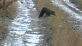 Maine Fisher Cat Hunting Rabbit 2.AVI