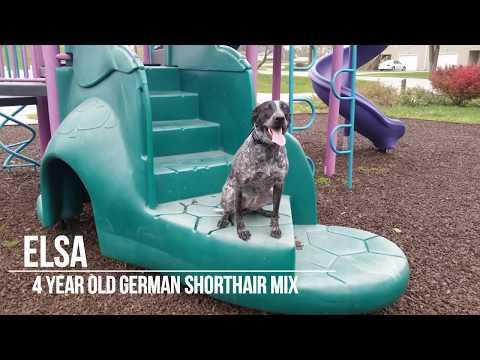 Elsa - 4 yr old German Shorthair Pointer Mix - Dog Training Omaha Nebraska