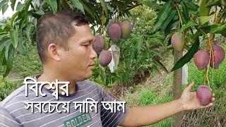 খাগড়াছড়ির পাহাড়ে বিশ্বের সবচেয়ে দামি আম | bdnews24.com