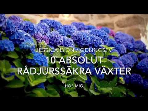 10 Absolut Rådjurssäkra Växter Hos Mig Jessica Lyon listar