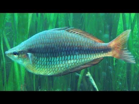 [HD] Simply Stunning Banded Rainbowfish Swarm / Juwelen-Regenbogenfisch @ Tierpark Bochum [10/26]