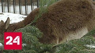 В столице непроданные елки передали в Московский зоопарк - Россия 24