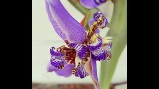Mutant Irises in Florida - Easter 2016