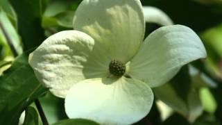 видео Cornus CAPITATA (Дерен, Кизил, Клубничное дерево) - Для бонсай  - Интернет-магазин - Адениум дома: от семян до растений. Выращивание и уход.