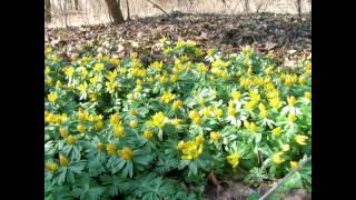 видео Весенник звездчатый: описание, выращивание из семян