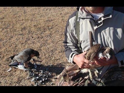 Hawk attacks Falcon