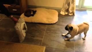 Pug Scared Of Asda Pug Cushion