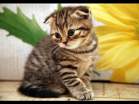 Animal Planet  : Cats 101 ~ Scottish Fold