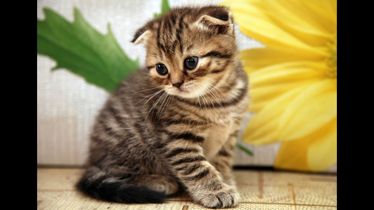 Scottish Fold kittens: description of the breed, photo 93