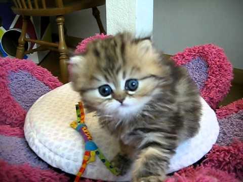 Cute Persian kitten, India, again--she can't help herself - 07.28.11