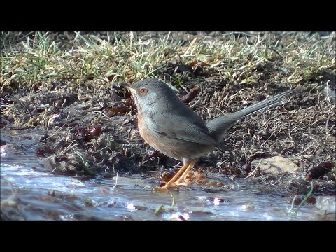 Curruca rabilarga (Sylvia undata) Dartford Warbler
