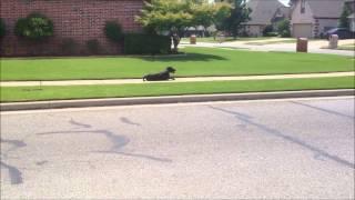 Indy - Dog Training Tulsa