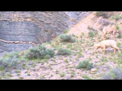 Yellowstone Bighorn Families
