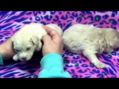 Shasta's schnoodle  puppies 1-19-17 eyes open and doing great!!