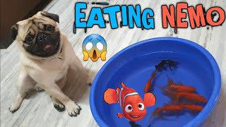 Simba & The Fish🐠 | Cute and Funny Pug | Simba's Pug Life