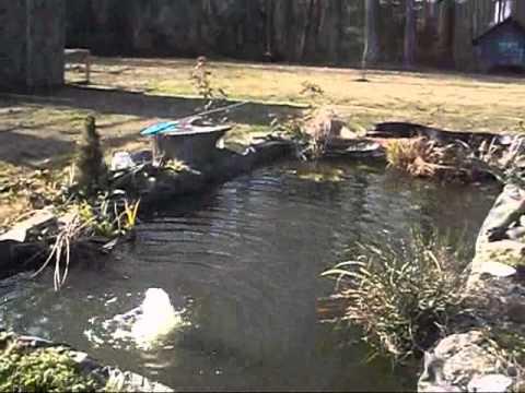 Winterize Koi Pond Youtube